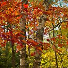 Red Maple and White Birch by Megan Noble
