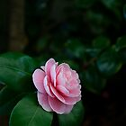 Camellia by Jim Lovell