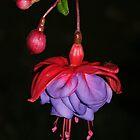 Fuscia - Flower-Iphone-Case by Lynda   McDonald