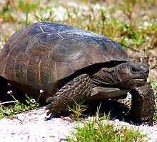 Gopher tortoise by Larry Baker
