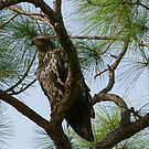 juvenile bald eagle by aspectsoftmk