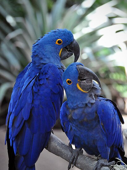 Blue Parrots by venny