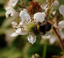 Blackberry Bumble by Firefly4029