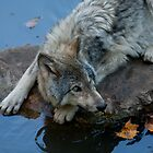 Timber Wolf Autumn Drink by Benjamin Brauer