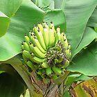 Growing bananas on Kauai by Martha Sherman