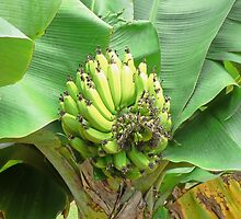 Growing bananas on Kauai by Martha Sherman