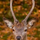 Deer Eye Contact - Autumn by Benjamin Brauer