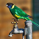 Australian Ringneck Parrot by bowenite