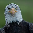 Bald Eagle - Eye Contact by Benjamin Brauer