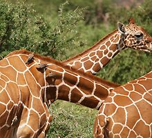 reticulated giraffes and oxpeckers by roger smith