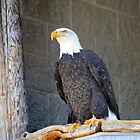 American Bald Eagle by NewfieKeith