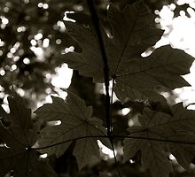 Maple Leaves From Below...BOKEH by Andrew Lapierre