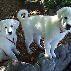 Maremma Puppies by ariete