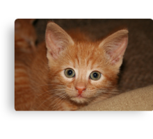 Kitten Douglas Canvas Print