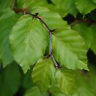 Beech leaves by blodauhyfryd