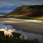 Sheep at Rhosilli Beach by Matt Ware