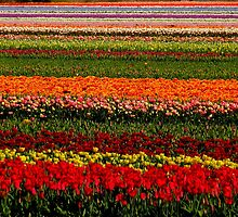 tulip field  by supergold