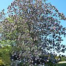 Paulownia Tree - Warragul by Bev Pascoe