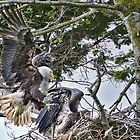 Bald Eagles Raising a Family by David Friederich