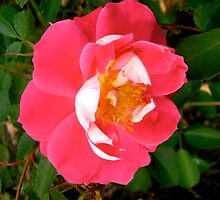 Governor General's rose 6 by Shulie1
