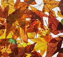 Pressed Leaves by Bonnie T.  Barry