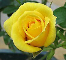 Serene Rose Photographic Print