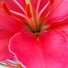 Sunrise pink lily by Mercedes Auman