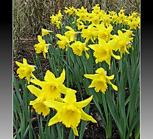 Easter Daffodils - Greeting Card by Kathryn Jones