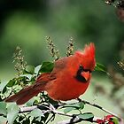 Cardinal by Debbie  Fontaine