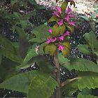 Calliope Hummingbird & Hummingbird Sage by Ken Gilliland