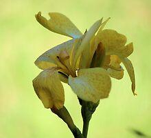 Canna Gold by Bob Hardy