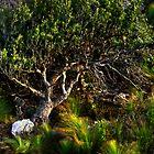Banksia and Grasstrees by Kip Nunn