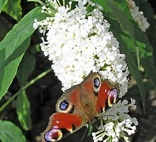 Peacock butterfly on white buddleia for iPhone by Philip Mitchell