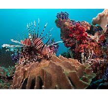 Lion Fish, Papua New Guinea Photographic Print