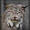 Canada Lynx by Jim Cumming