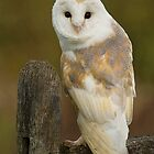Barn Owl  by Val Saxby