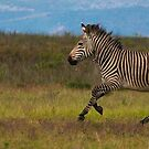 Zebra, Botlierskop Game Reserve by Roger Barnes