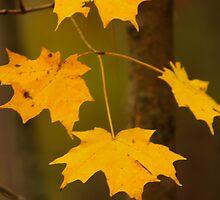 Fall 2011 - Jack Pine Trail - Ottawa Ontario by Josef Pittner