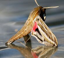 Wingerdpylstertmot - Hippotion celerio - Silver-striped Hawk-Moth by Rina Greeff