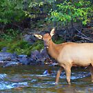 Elk In River by Kathleen Struckle