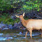 Elk In River by Kathleen Struckle