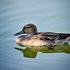 Northern Pintail Duck - Female  by Saija  Lehtonen