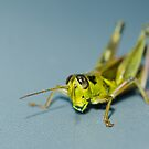 Small grasshopper by vasu