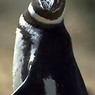Magellan Penguin by Alan Harman