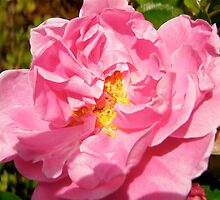 Governor General's rose 10 by Shulie1