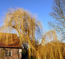 Weeping Willow by Gary Rayner