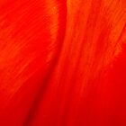 Intensely Red Tulip by jeliza