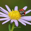 purple and ladybug by davvi