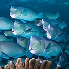Bumphead Parrotfish, Sipadan, Sabah, Malaysia by Erik Schlogl