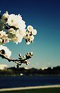 White Blossoms in Canberra by NinaJoan